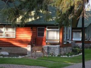 Lodge の前を散策中の鹿