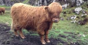 20130613-4-Highlander Cow-Web