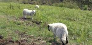 20130613-羊-Web