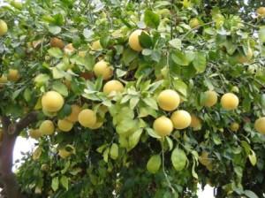 1204-04-Grape Fruit-毎日失敬